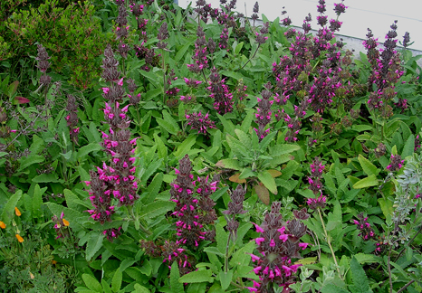 hummingbird sage, native plants