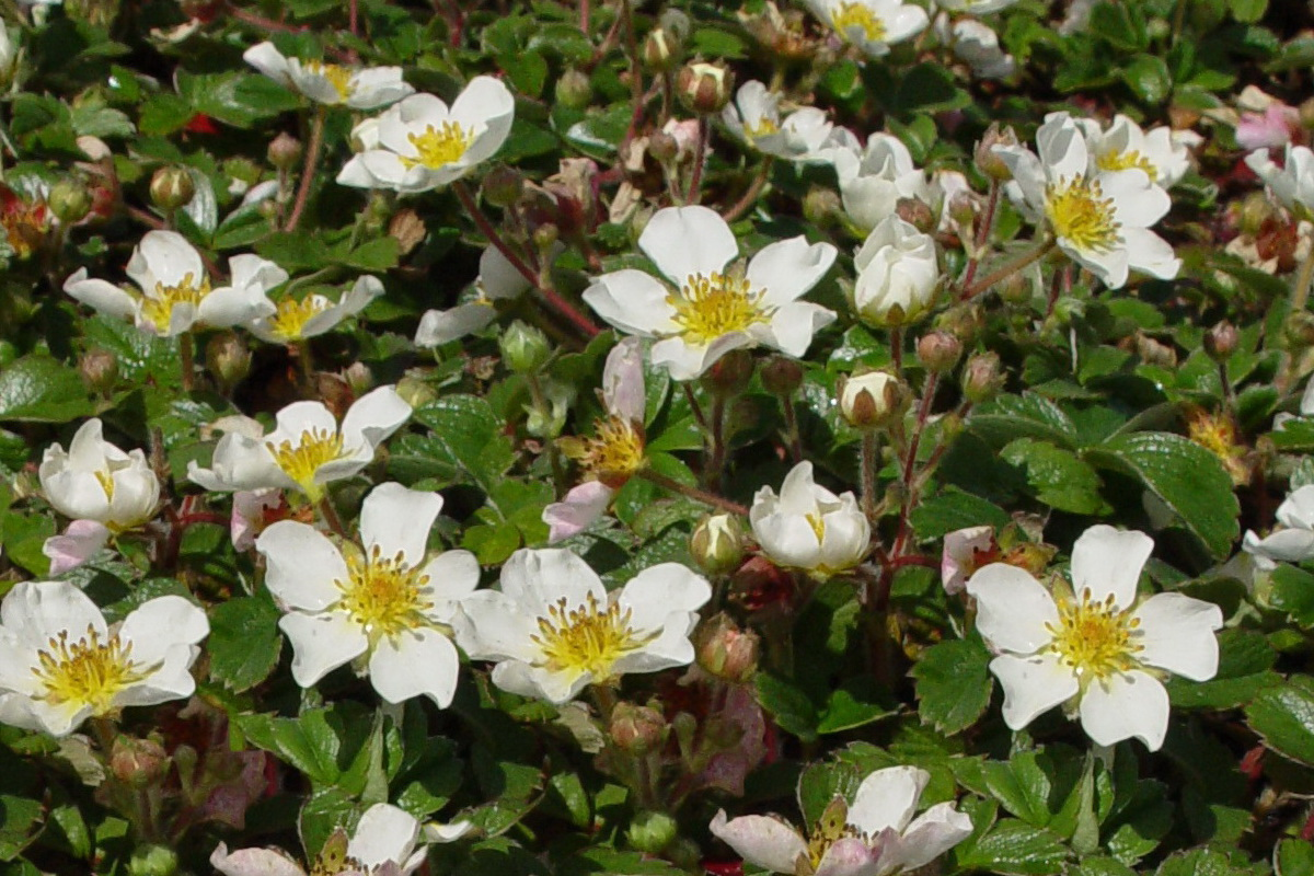 ornamental strawberry coastal strawberry fragaria