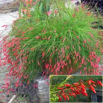 Russelia Equisetiformis Firecracker Plant Coral Plant